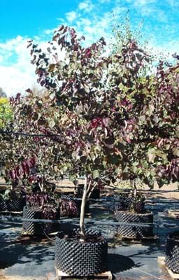 Cercis canandensis Forest Pansy